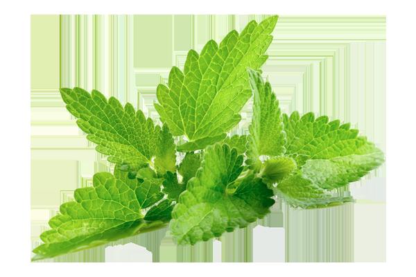 Cactus-citron-vert